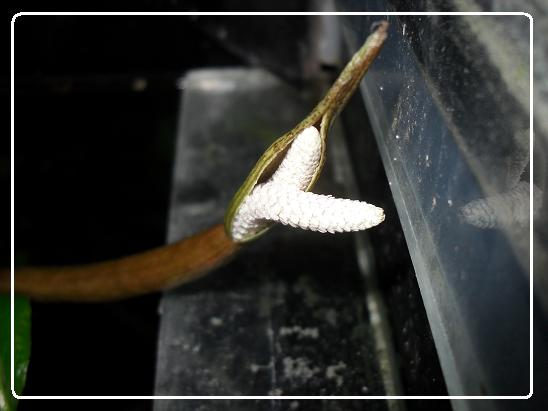 L'évolution d'une fleure  Aponogeton boivinianus Sdc12620-1ede820