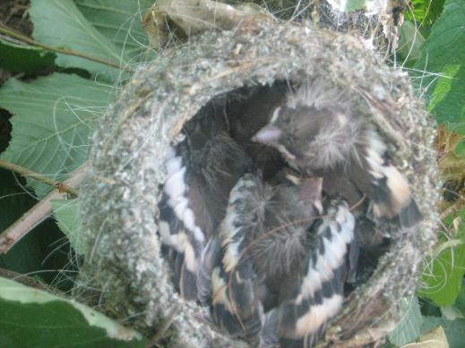 bébé oiseaux Photo-591-1d8f3dd